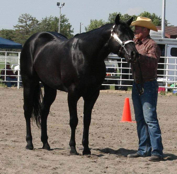 Hot Roddin Mr Aqha Black Stallion